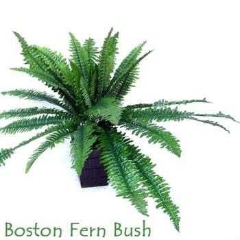 Boston Fern Bunch