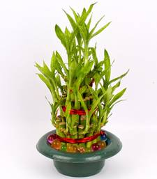 Buy Good Luck Bamboo Plant thanksgiving-gift online